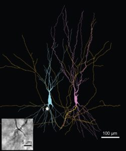 Reconstruction of a pair of synaptically connected CA3 pyramidal neurons. Inset shows a light-micrograph of the single synaptic contact that forms the connection.