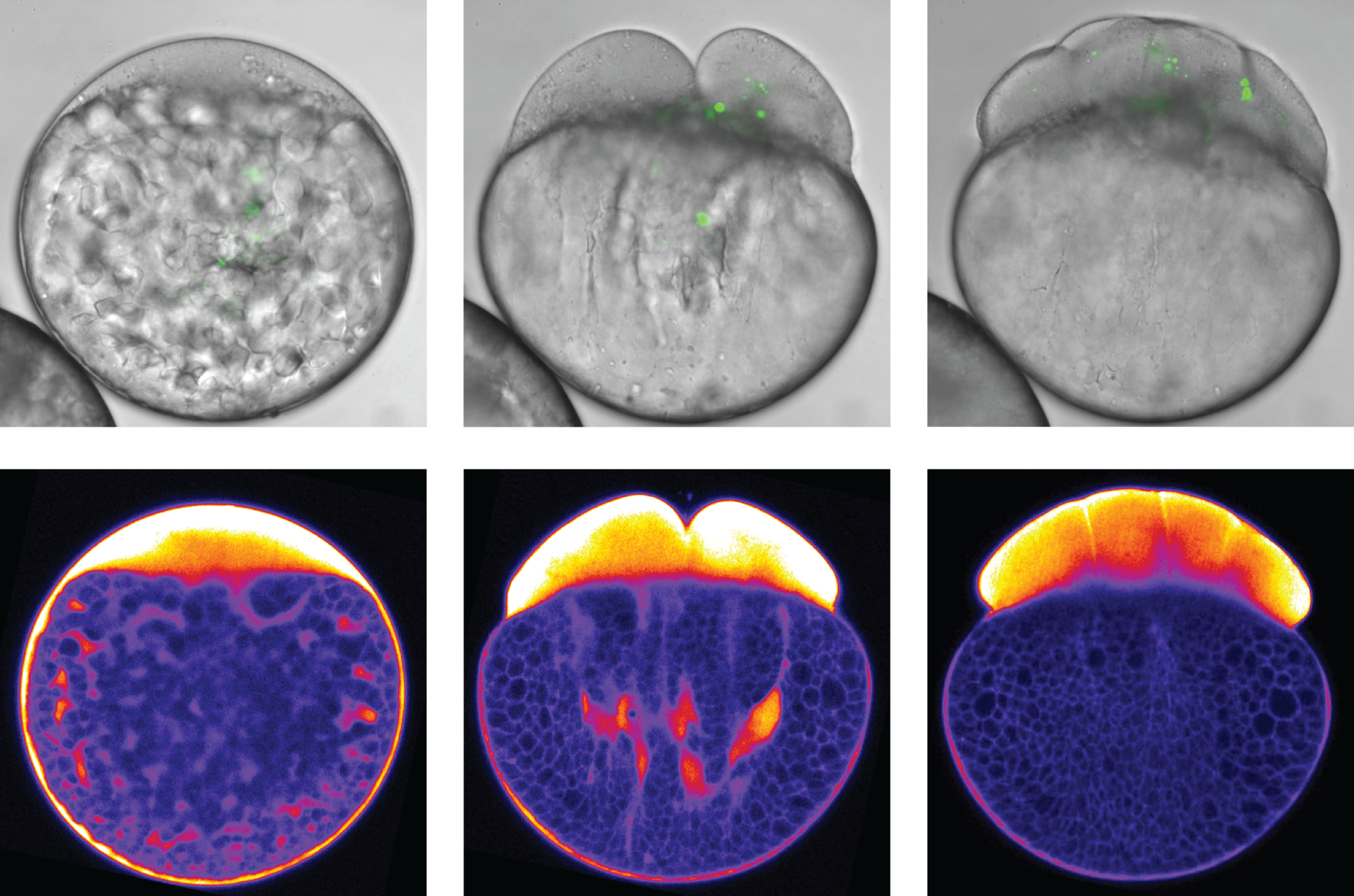 Segregation Drives Discipline >> Ist Austria How The Cytoplasm Separates From The Yolk