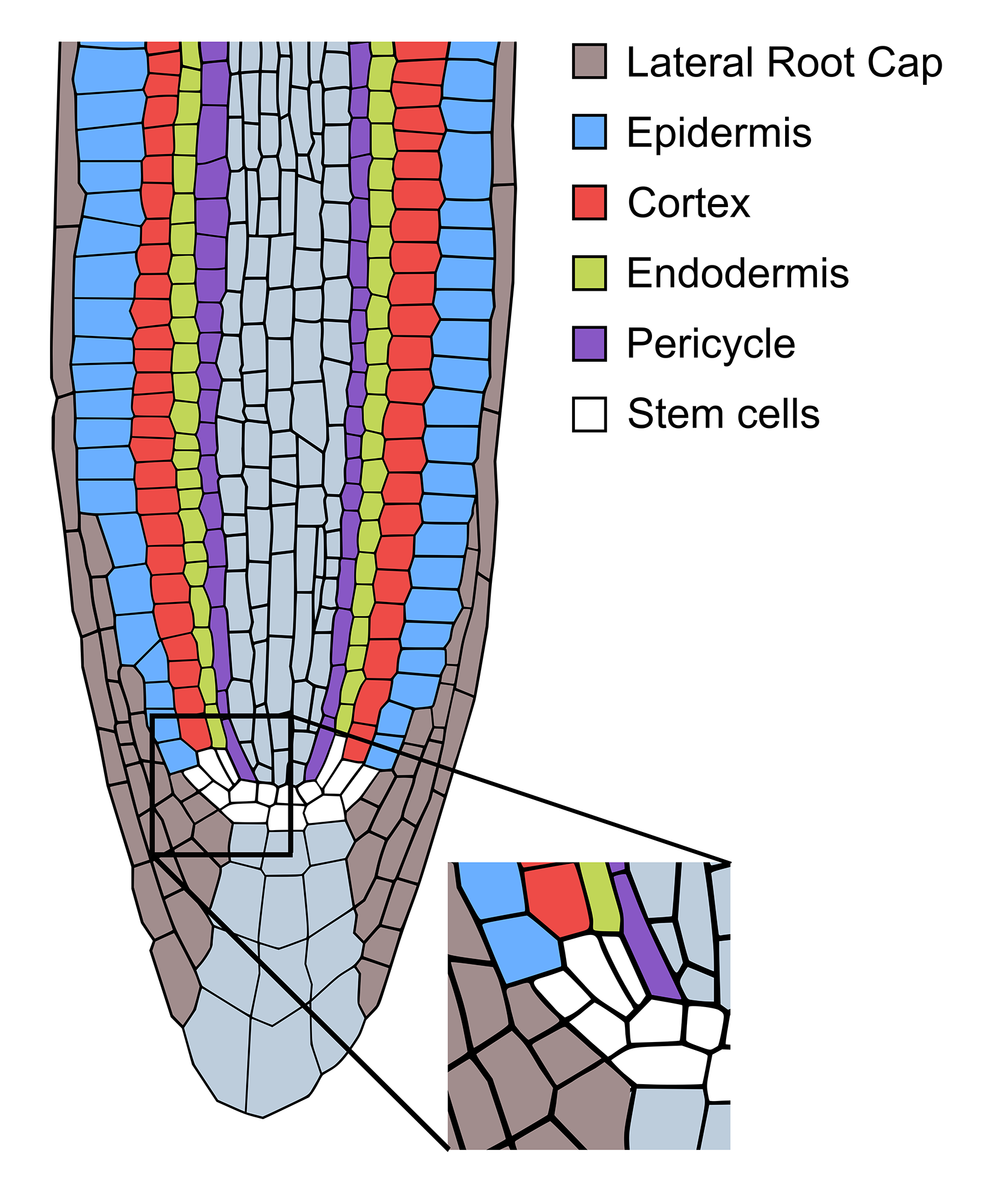 IST Austria | Specialized plant cells regain stem-cell ...