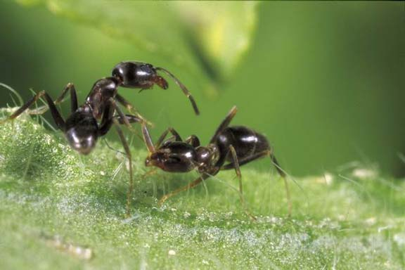Argentine ant workers help each other to fight disease. This social immunity acts like an immune system at the colony level, changing the environment in which pathogens on the individual level compete with one another.