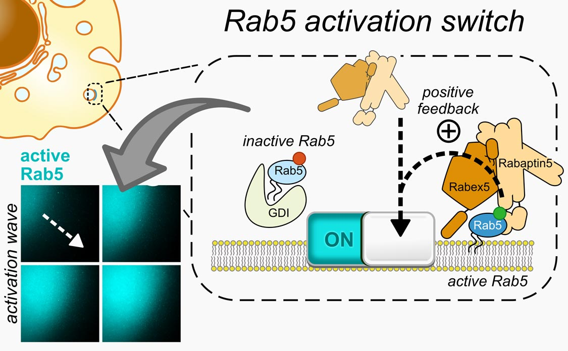 Rab5 is a molecular switch that controls intracellular membrane traffic. It can collectively switch on and bind the membrane surface through positive feedback in activation, which results in travleing waves of activation across the membrane.