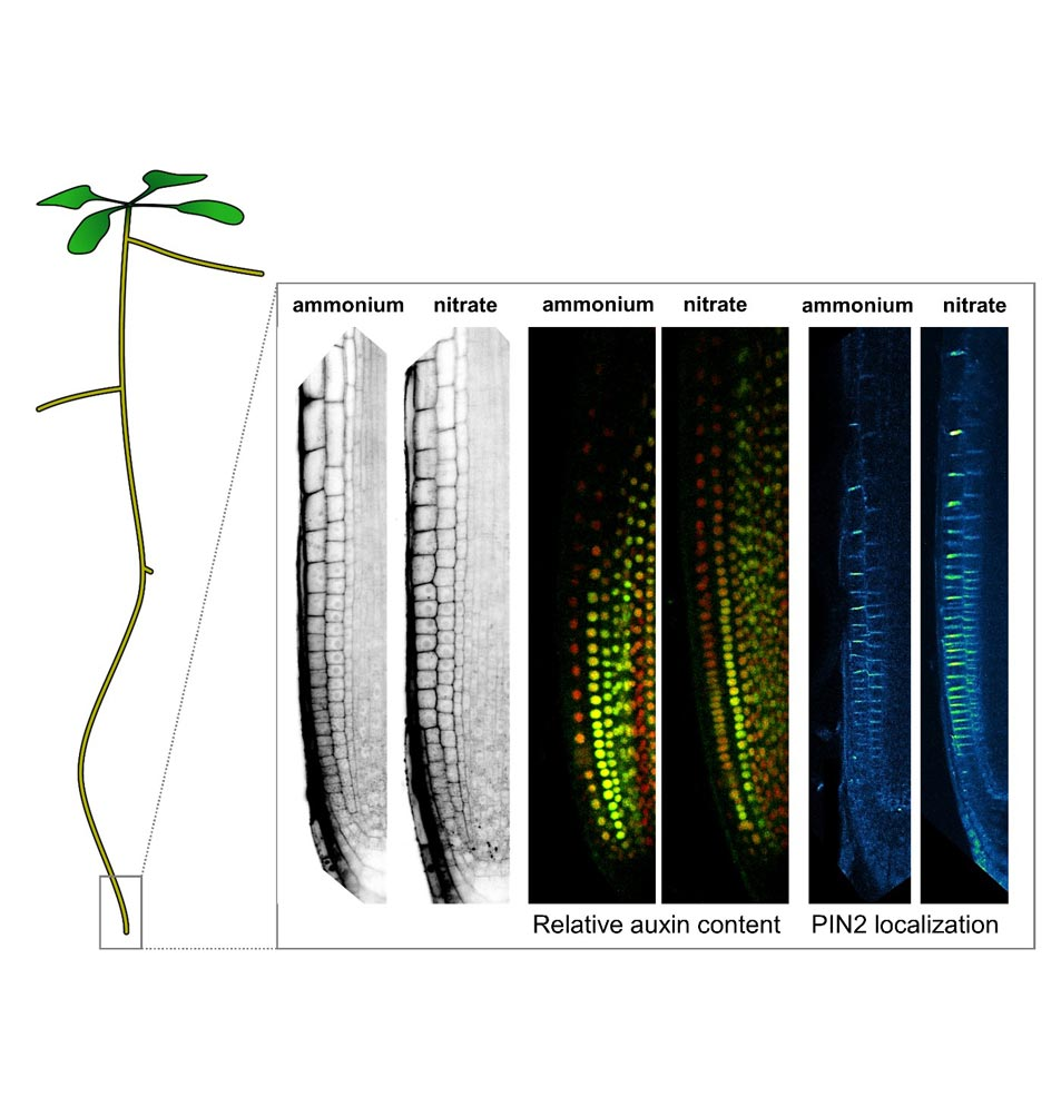 The picture shows the differences in cell lengths, relative auxin content and the localization of the PIN2 auxin transporter between neighboring cell files in Arabidopsis root tip supplemented with ammonium vs. nitrate. © Krisztina Ötvös / IST Austria.