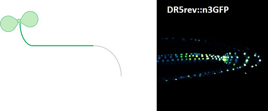 To develop along the gravitation factor – leaves toward the sun and roots toward the center of the earth – the plant hormone auxin has to be asymmetrically distributed within the root, indicated by a DR5rev::n3GFP fluorescent auxin reporter. © Shutang Tan / IST Austria
