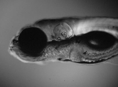 Bright-field side-view of a 5-day old zebrafish embryo showing its 3D body shape (© Carl-Philipp Heisenberg)