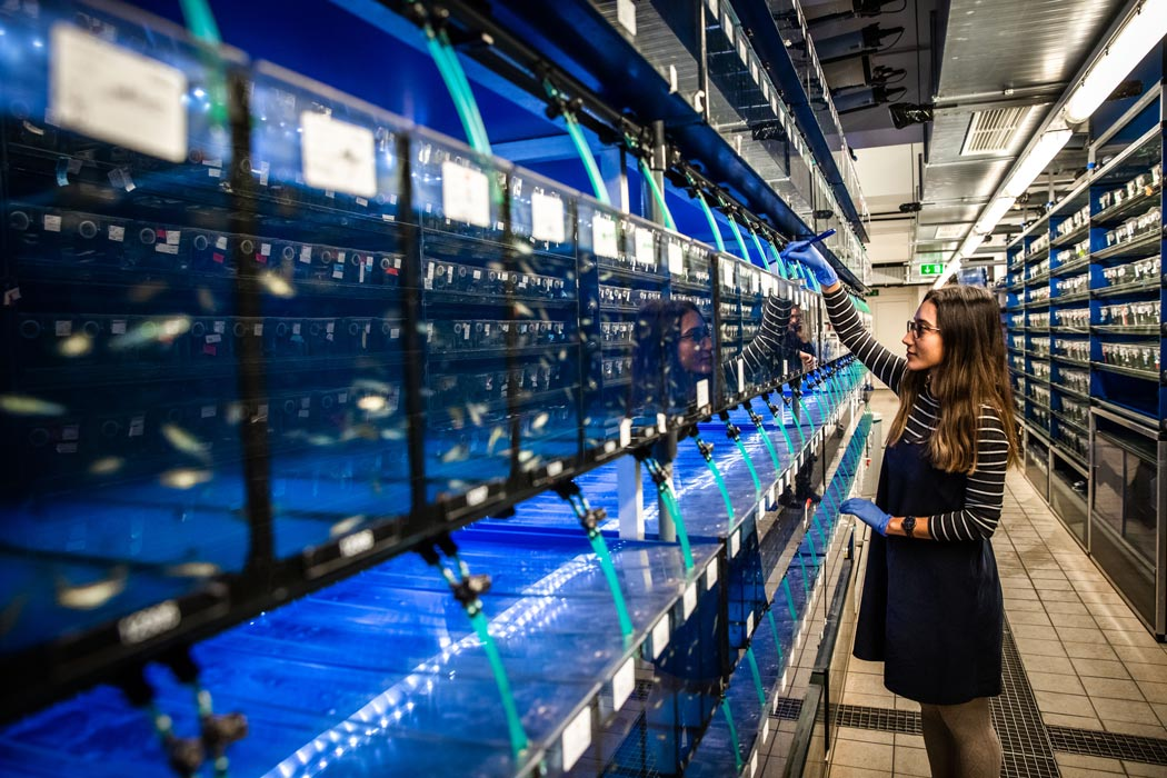 A PhD-student of the Heisenberg group attends to the zebrafish the group uses as model organisms. © Nadine Poncioni, IST Austria