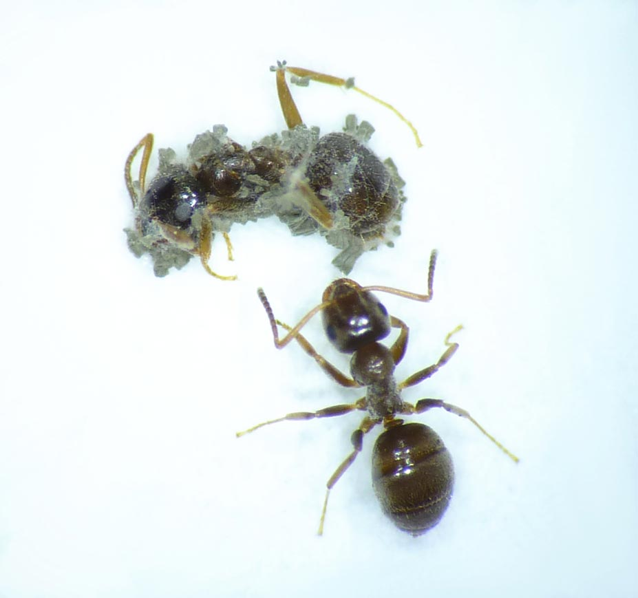 Photo of garden ant worker in contact with sporulating cadaver of fungus Metarhizium (© Matthias Konrad)