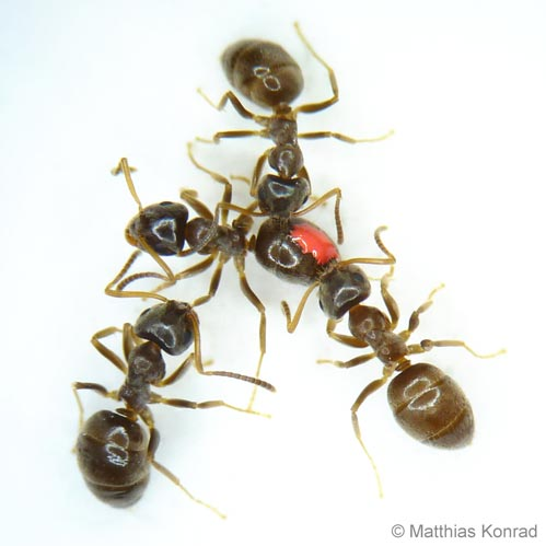 Micro-infections promote social vaccination in ant societies