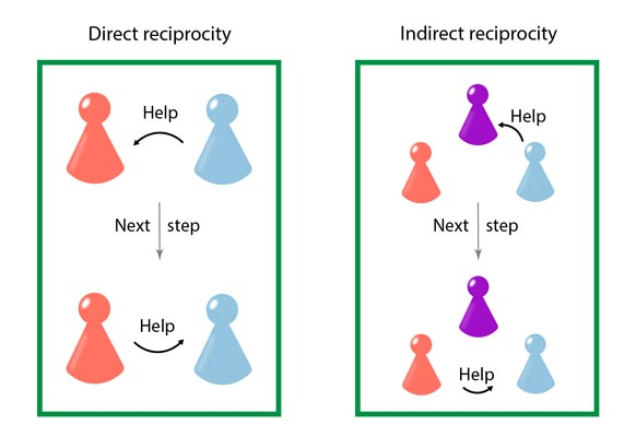 Illustration of direct and indirect reciprocity. Direct reciprocity: First, Blue helps Red. In the next evolutionary step in the simulation, Red remembers that and now in turn helps Blue. Indirect reciprocity: First, Blue helps Violet and Red is observing. In the next evolutionary step, Red knows about the good reputation of Blue and now helps them too. © Laura Schmid