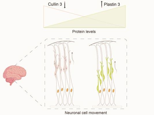 IST Austria 2021Defective Cullin 3 gene leads to accumulation of Plastin 3 protein