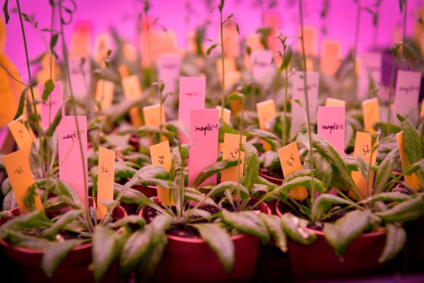 Arabidopsis thaliana growing in the in vivo room. (c) Robert Herbst/IST Austria