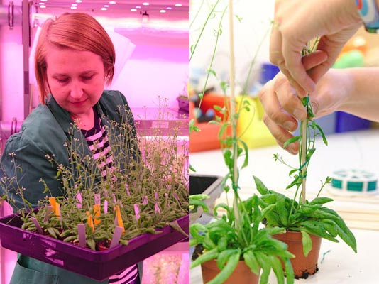 Taking care of the plants. Dorota has to check all plants daily and sometimes help them grow by adding a support structure. (c) IST Austria